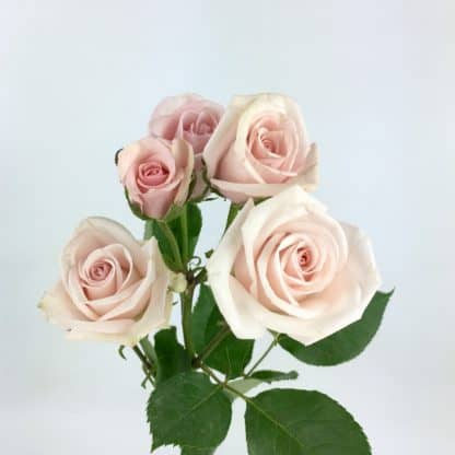 Spray Rose - Blush Pink