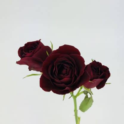 Spray Rose - Burgundy